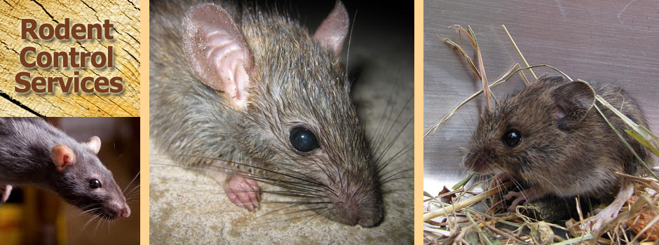 East Texas rodent control solutions